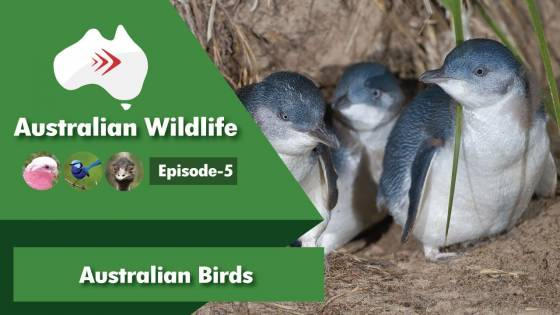 Australian Wildlife Episode 5 Australian Birds